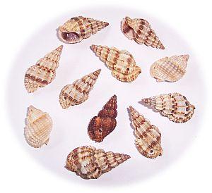 10 gedrehte spitze Muschelperlen 25 - 40 mm beige